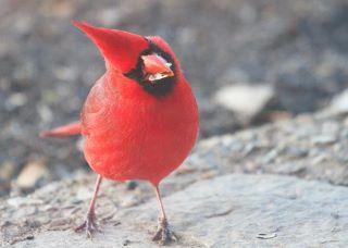 Cardinal tilted head   Diane Porter